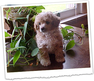 Bayou Country Kennels - Toy Poodles